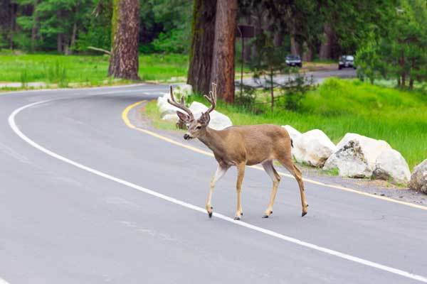 wildlife crossing the road